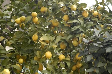 tree dweller: Lemons in your tree