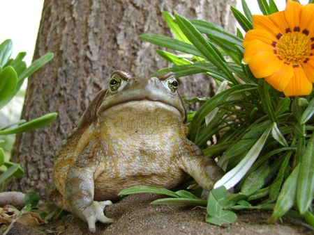 chaco: Toad