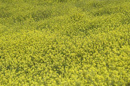 Campo de la floración jaramagos