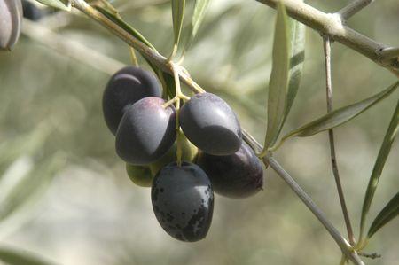 Aceitunas de la variedad picual o oliva pico Martenos en la ciudad de pino bosques en la región este de los Montes de Granada