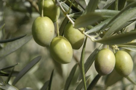 Picual variety olives or olive beaked Martenos in the town of pine forests in the Eastern region of Montes de Granada