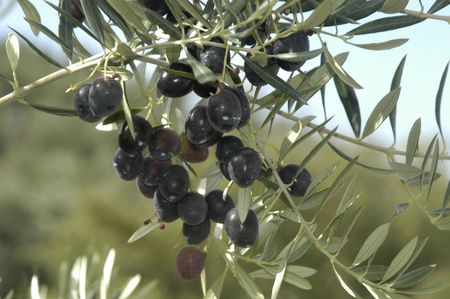 trees photography: Picual variety olives or olive beaked Martenos in the town of pine forests in the Eastern region of Montes de Granada