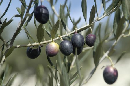 Picual variety olives or olive beaked Martenos in the town of pine forests in the Eastern region of Montes de Granada photo