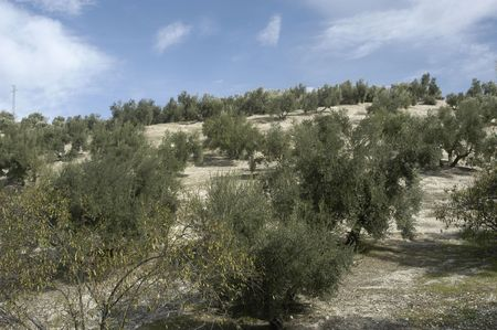 Olive groves in the region of Montes de Granada East photo