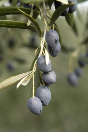 Olives picual variety of Íllora locally in the province of Granada  photo