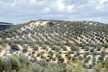 arbol: Variedad picual los olivos