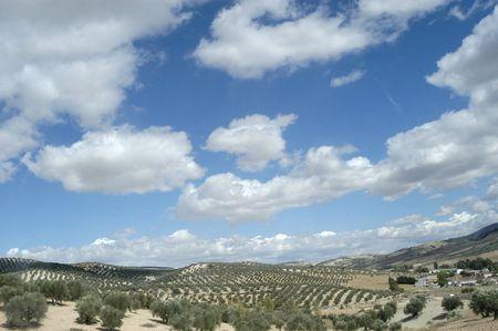 hojas: Picual variety Olives