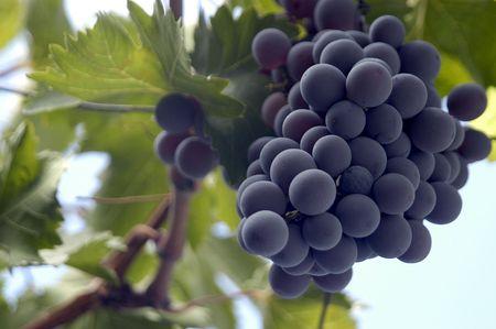 Vineyard Stock Photo - 6204876