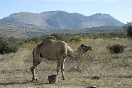 Camels and dromedaries photo