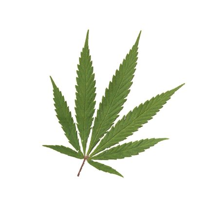 Cannabis sativa  Stock Photo