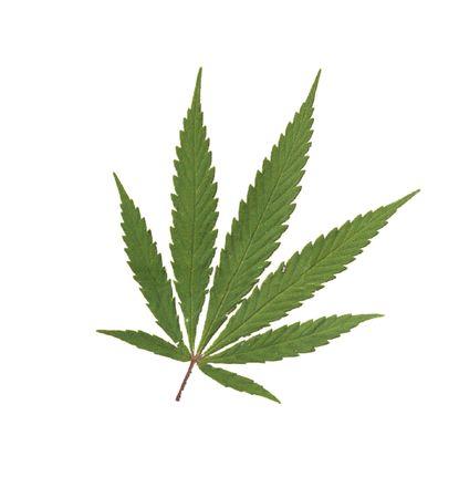 Cannabis sativa  Foto de archivo