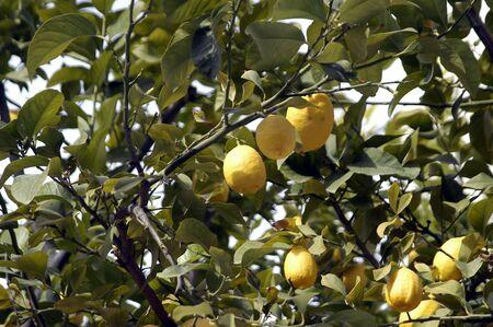 lemons in a lemon photo