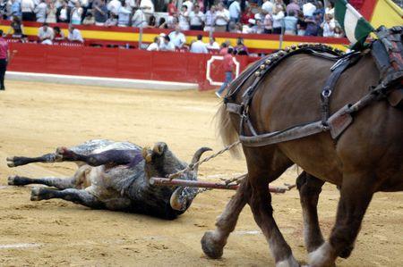Drag the bull with horses in the bullring in Granada (Spain) in the bull Corpus Fair June 2007