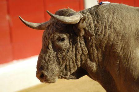 bullfight: Toro en la Plaza de toros de Granada (Espa�a) en la bula Feria del corpus de junio de 2007