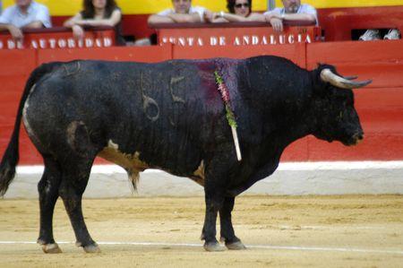 matadors: Bull in the bullring in Granada (Spain) in the bull Corpus Fair June 2007 Editorial