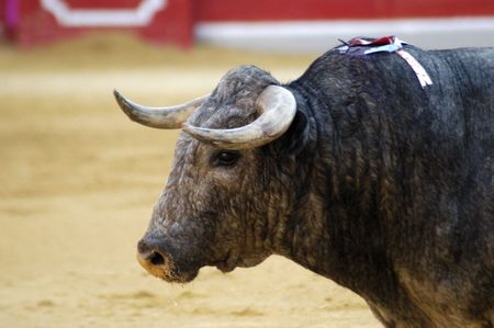 matadors: Bull in the bullring in Granada (Spain) in the bull Corpus Fair June 2007 Editorial
