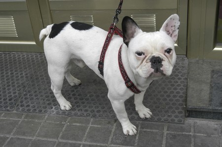 french bulldog, breed of dog photo
