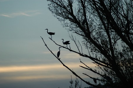 bird watching: herons in the branch of a tree Stock Photo
