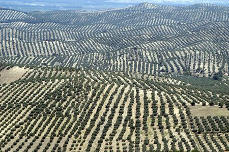 naturaleza: Aerial view of an Andalusian olive grove