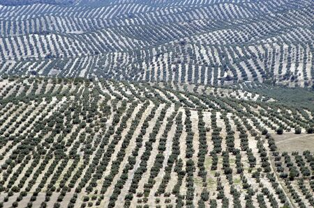 hojas: Aerial view of an Andalusian olive grove