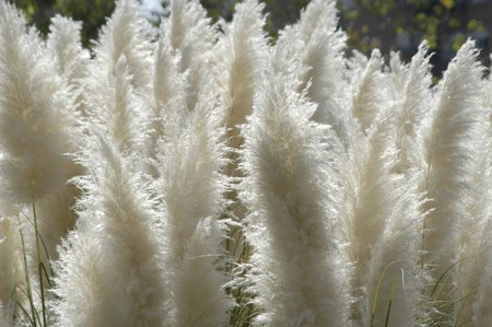 cattails: Reeds, cattails Stock Photo
