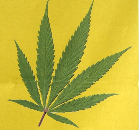 confiscated: cannabis sativa Stock Photo