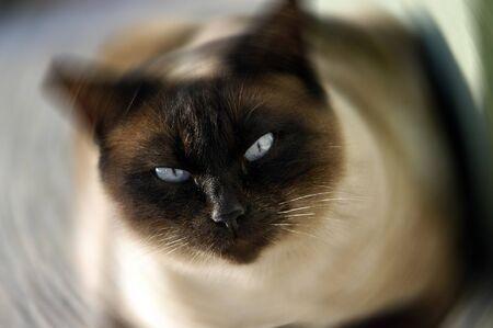 siamese cat with feline Stock Photo - 9677038