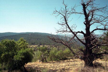 chestnut tree: dry chestnut tree