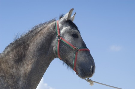 young horse of pure spanish race photo
