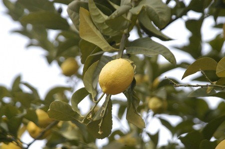 lemons on the lemon