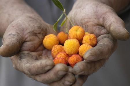 incommunicado: farmer showing her strawberry crop Stock Photo