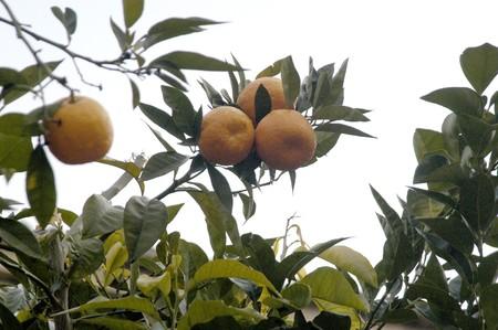 oranges in the orange Banco de Imagens