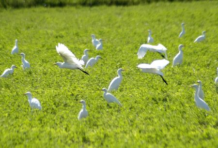 Herons Bubulcus ibis photo