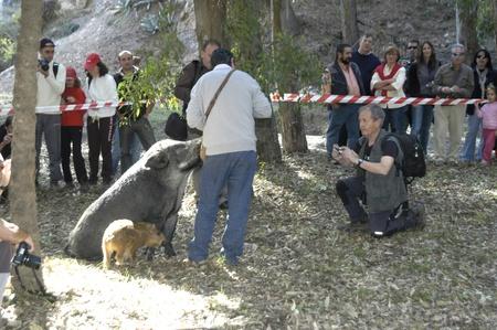 hoer: 20101106 - Granada - Spanje - praktische Workshop truffel jacht op wilde zwijnen en hond in de Mycological conferentie in Beaufort in de provincie Granada