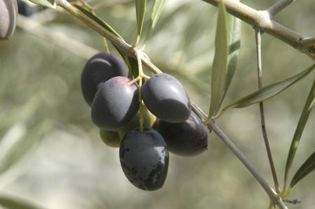 aceitunas de la variedad picual o aceite de oliva martene pico en la localidad del pinar, en la región oriental de los montes de granada Foto de archivo