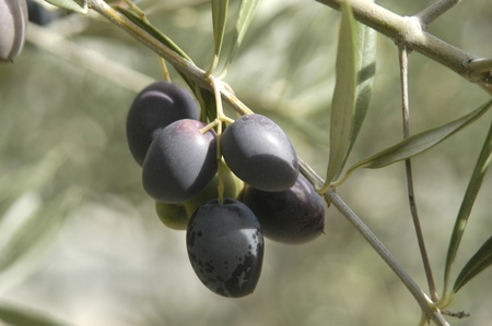 picual variety olives or olive beaked martene in the town of pinar, in the eastern region of montes de granada photo