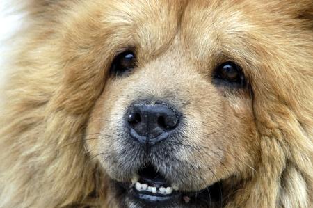 domestics: dog breed chow-chow