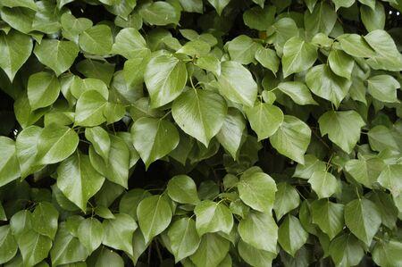 hojas: Fondo vegetal de yedra o hiedra 17-06-2009 Foto: Paco Ayala  Stock Photo