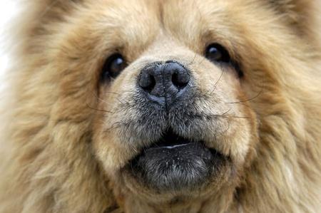 domestics: Dog breed chow-chow Stock Photo