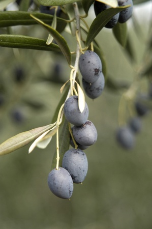 picual variety olives or olive beaked martene in the town of pinar, in the eastern region of montes de granada