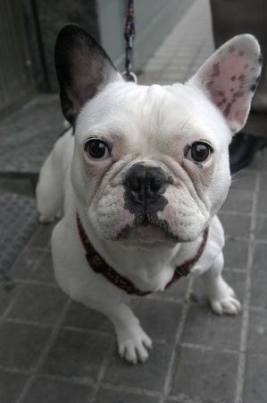 french bull dog, dog breed photo