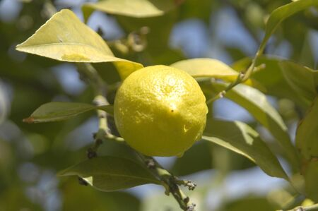 lemons plantation photo