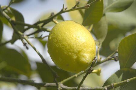 plantación de limones Foto de archivo - 8702797