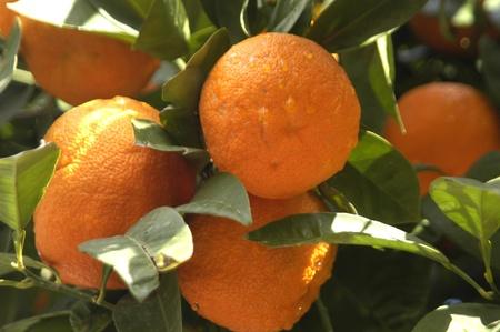 plantación de naranja