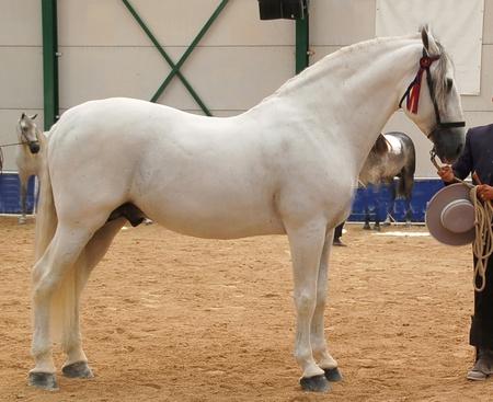andalusian: Spanish purebred horse Arabic Stock Photo