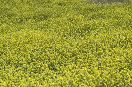mustard plant: yellow vegetable substance