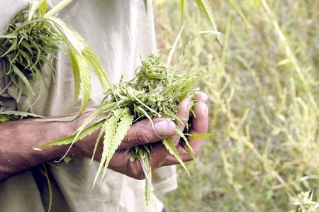 una plantación de marihuana o de cannabis sativa Foto de archivo