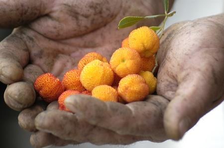 incommunicado: strawberry farmer Stock Photo