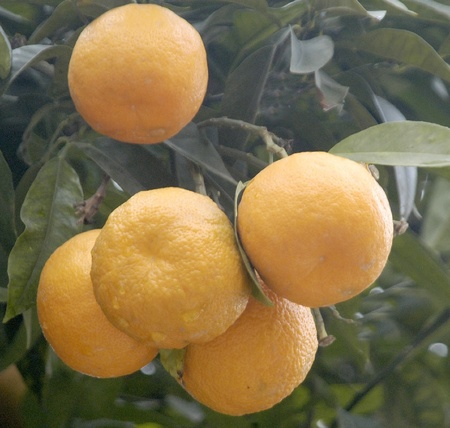 oranges in the orange tree photo
