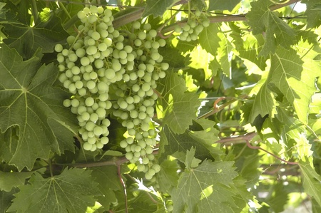 bunch, grapes, green photo